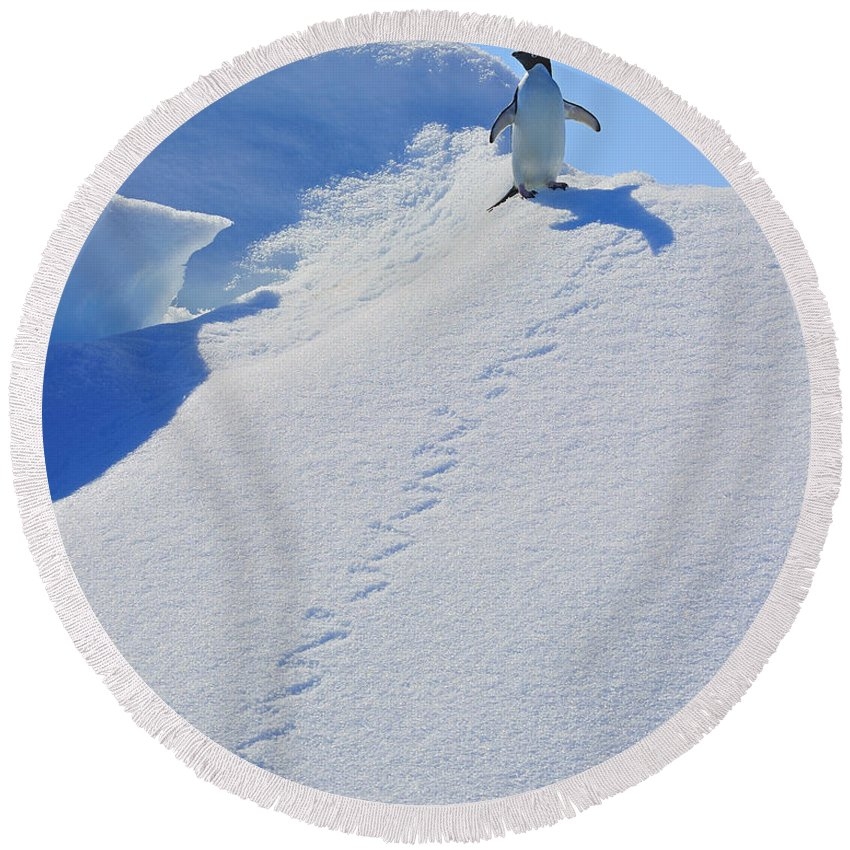 Adelie Penguin Round Beach Towel featuring the photograph Adelie Penguin On Bergie Bit by Tony Beck