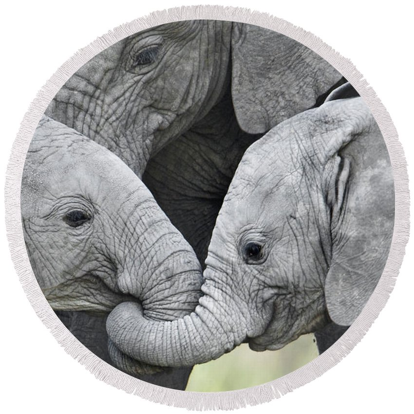 Photography Round Beach Towel featuring the photograph African Elephant Calves Loxodonta by Panoramic Images