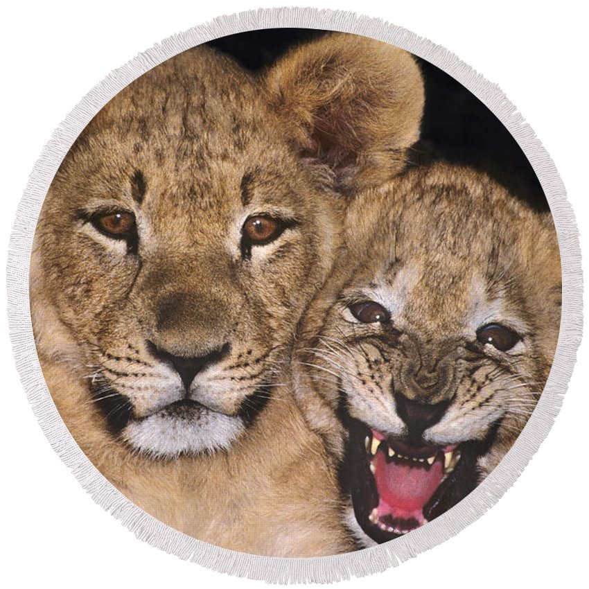 African Lions Round Beach Towel featuring the photograph African Lion Cubs One Aint Happy Wldlife Rescue by Dave Welling