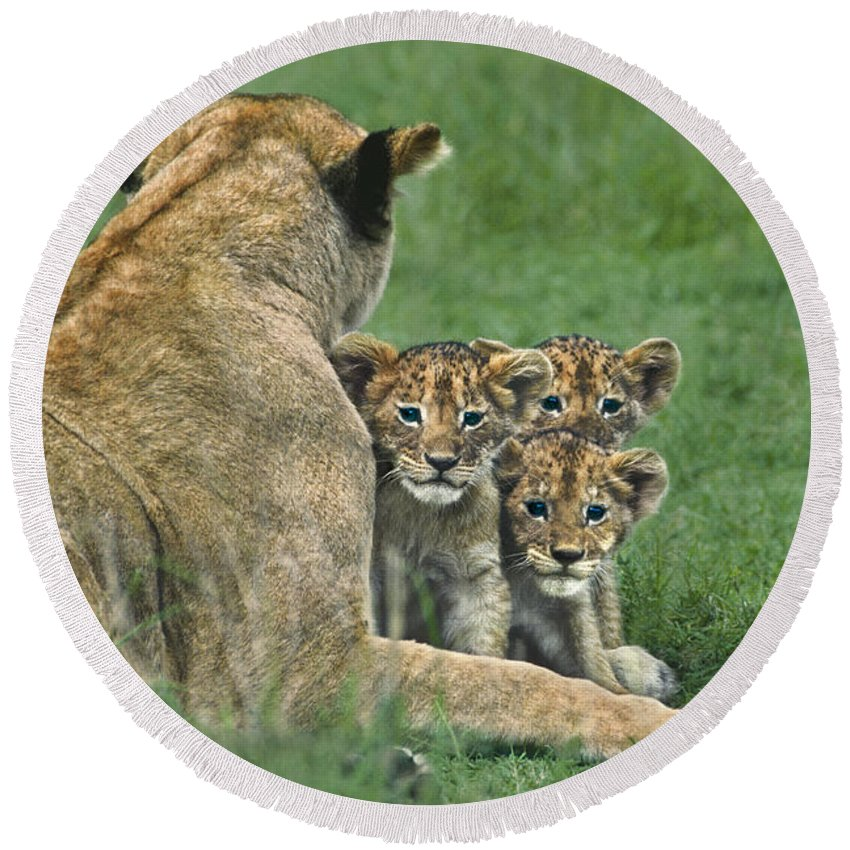 Africa Round Beach Towel featuring the photograph African Lion Cubs Study The Photographer Tanzania by Dave Welling