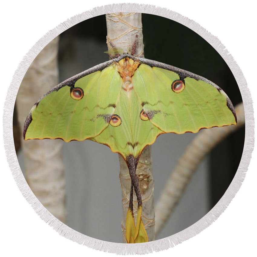 African Moon Moth Round Beach Towel featuring the photograph African Moon Moth by Judy Whitton