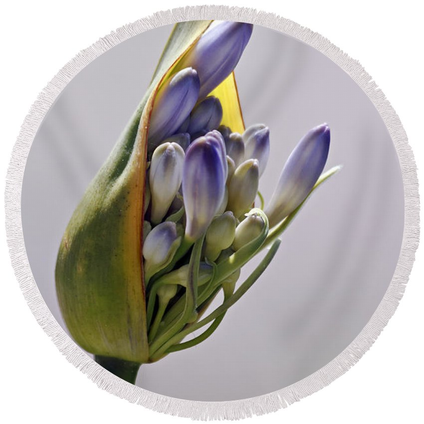 Kate Brown Round Beach Towel featuring the photograph Agapanthus Blue by Kate Brown