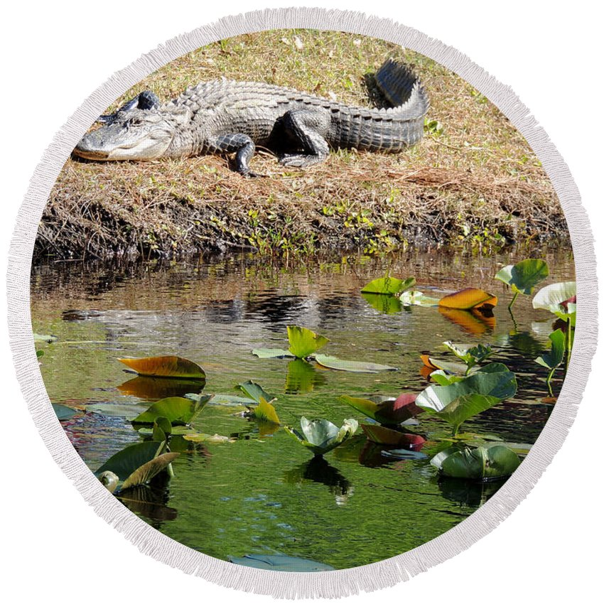 Alligator Sunbathing On Shore Round Beach Towel featuring the photograph Alligator Sunbathing by Kim Pate