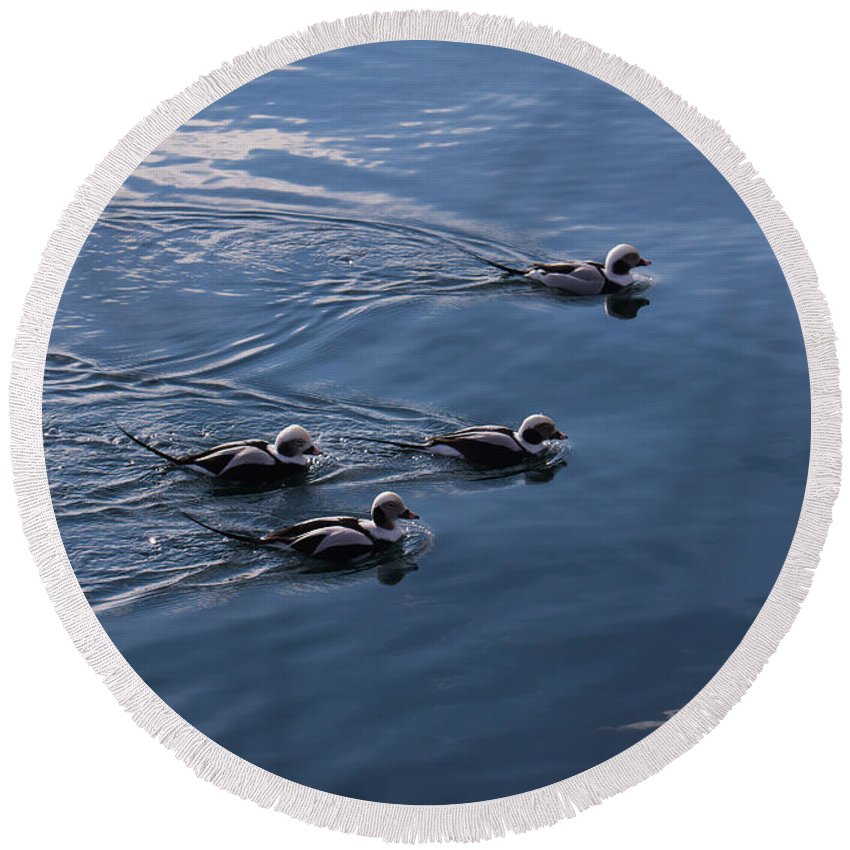 Long Tailed Duck Round Beach Towel featuring the photograph Almost Synchronized Swimming by Georgia Mizuleva