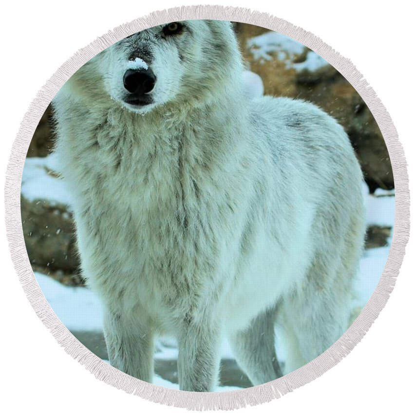Gray Wolf Round Beach Towel featuring the photograph Alpha Girl by Adam Jewell