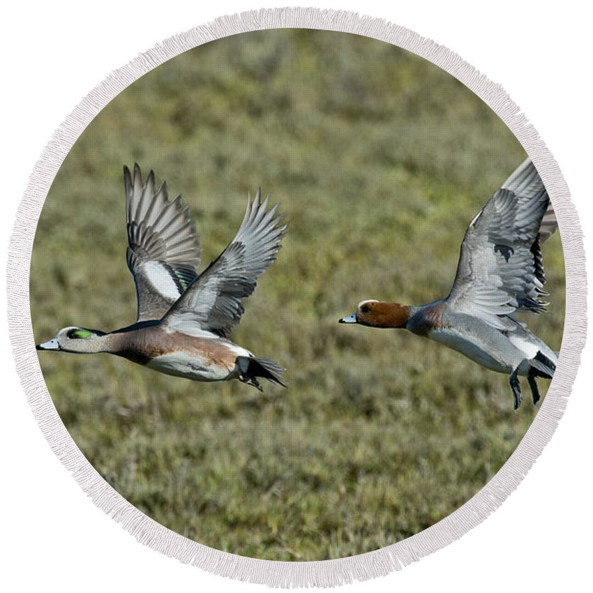 American Wigeon Round Beach Towel featuring the photograph American & Eurasian Wigeons by Anthony Mercieca
