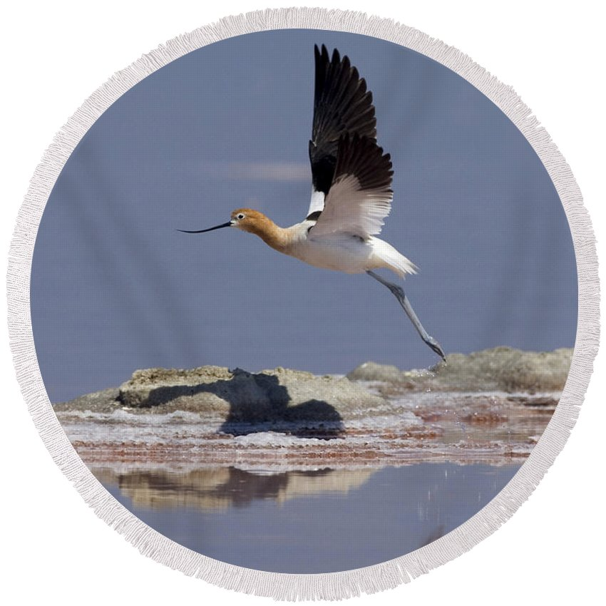American Avocet Round Beach Towel featuring the photograph American Avocet by Anthony Mercieca