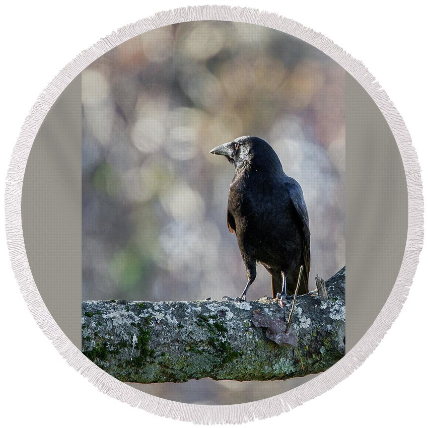 Crow Round Beach Towel featuring the photograph American Crow by Bill Wakeley
