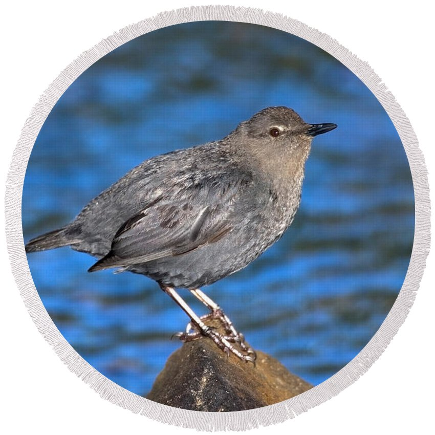 Animal Round Beach Towel featuring the photograph American Dipper Cinclus Mexicanus by Anthony Mercieca