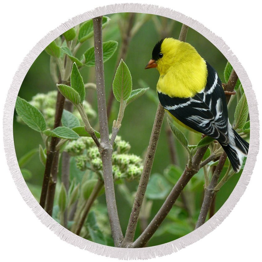 American Goldfinch Round Beach Towel featuring the photograph American Goldfinch by Bruce Morrison