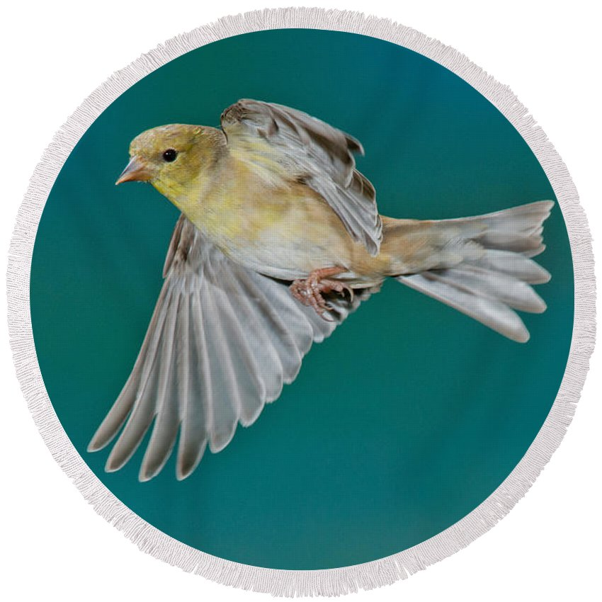 Carduelis Tristis Round Beach Towel featuring the photograph American Goldfinch Hen In Flight by Anthony Mercieca
