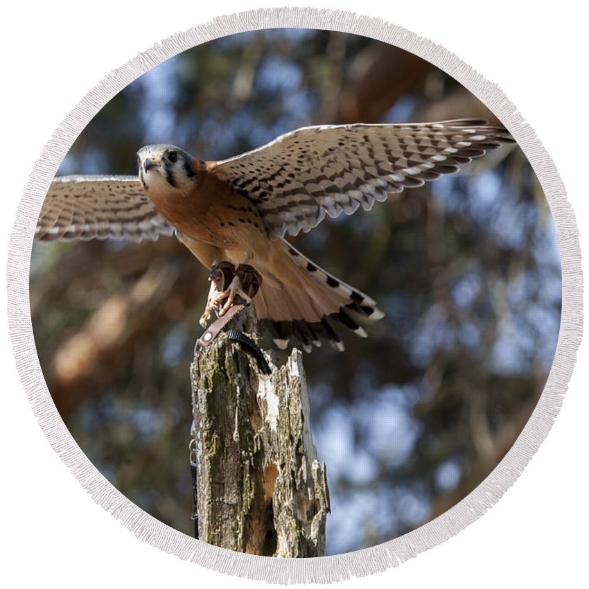 Agile Round Beach Towel featuring the photograph American Kestrel by Jack R Perry