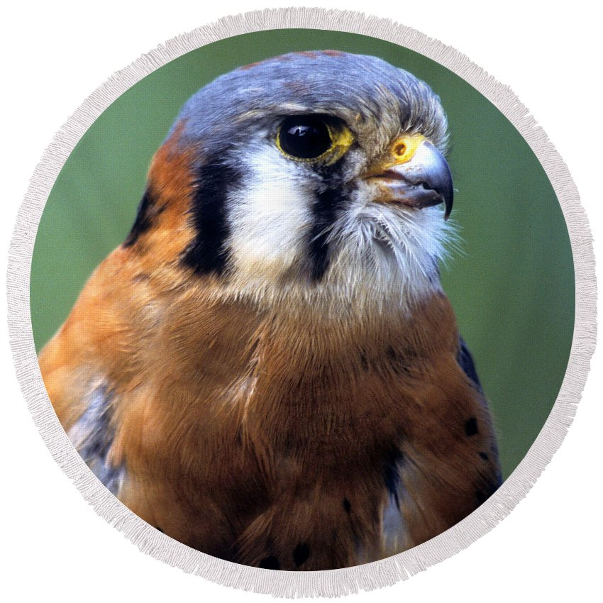 Kestrel Round Beach Towel featuring the photograph American Kestrel Male by Larry Allan