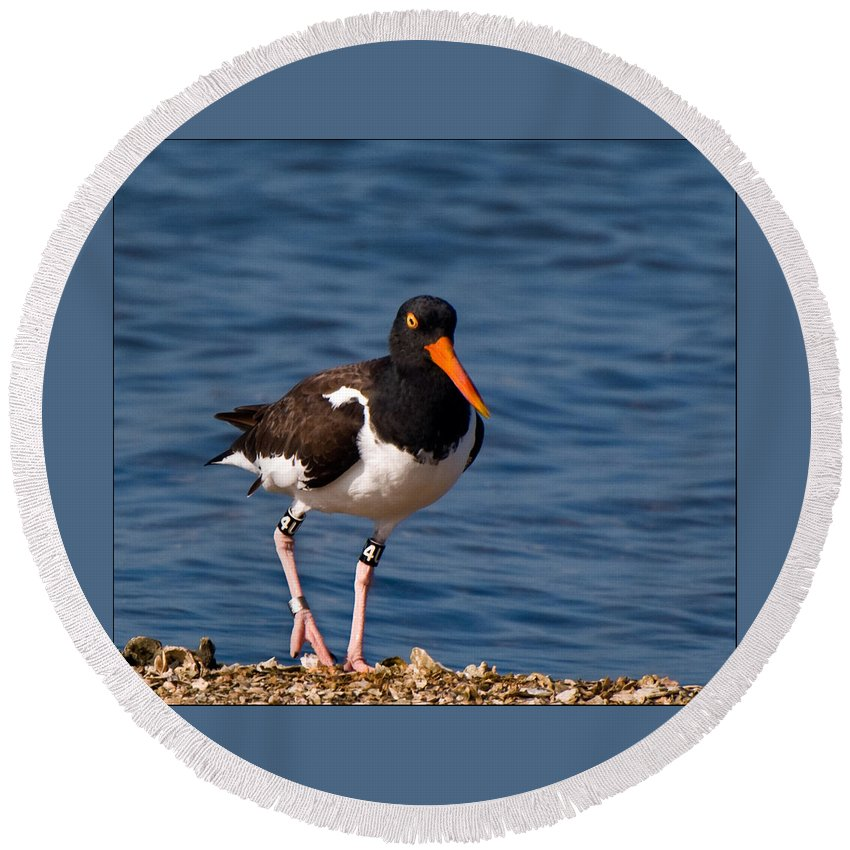 Fishing Round Beach Towel featuring the photograph American Oystercatcher by Ginger Wakem