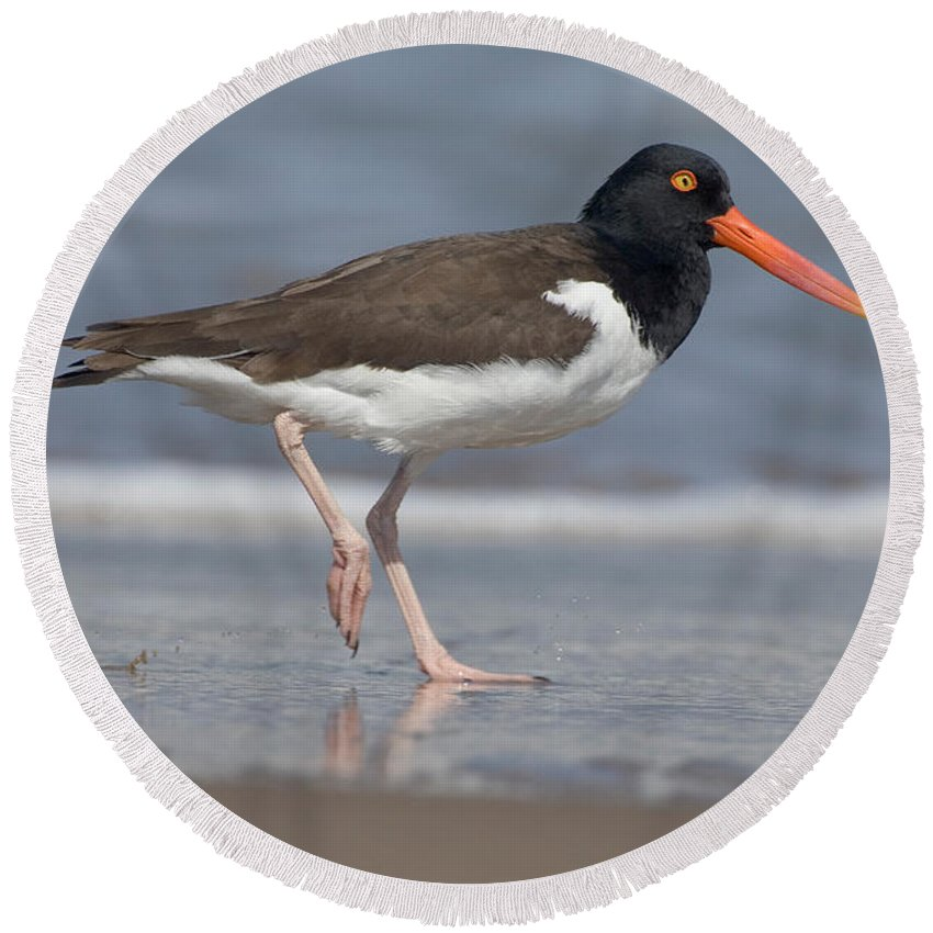 Animal Round Beach Towel featuring the photograph American Oystercatcher On Beach by Anthony Mercieca