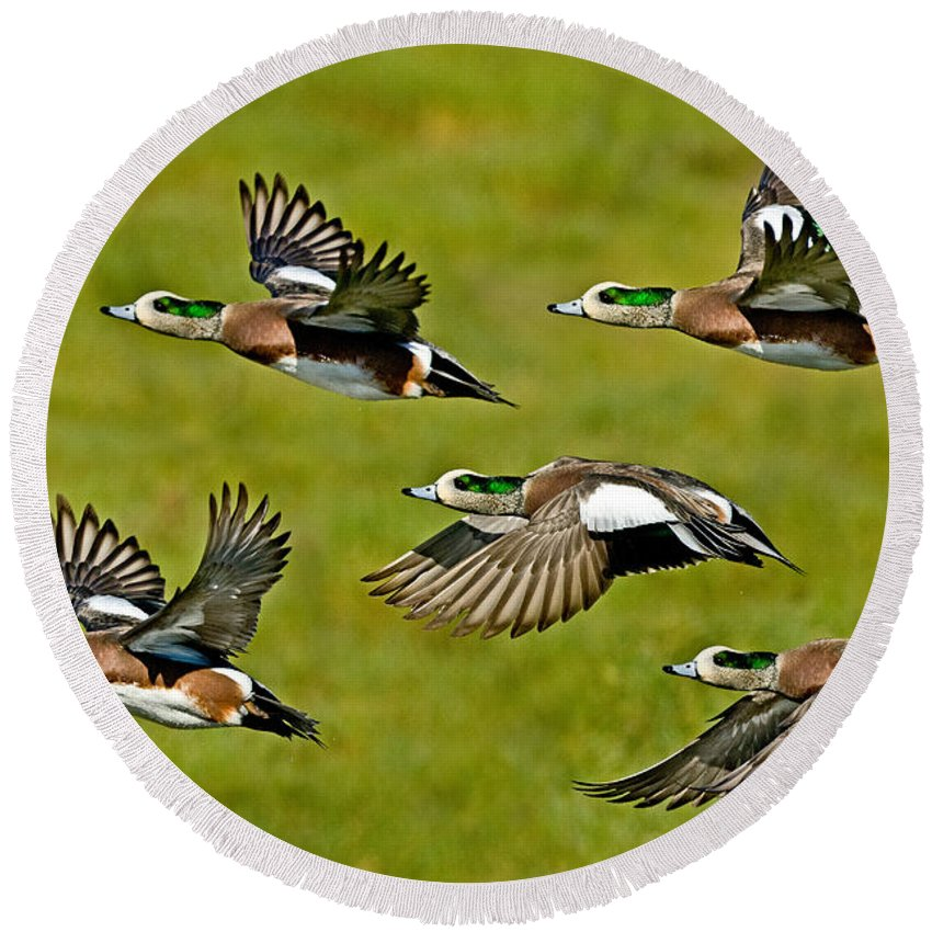 Fauna Round Beach Towel featuring the photograph American Wigeon Drakes by Anthony Mercieca
