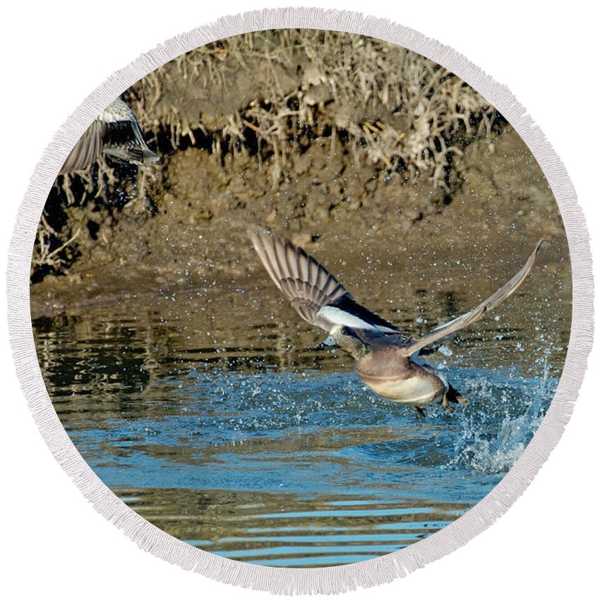 Fauna Round Beach Towel featuring the photograph American Wigeon Pair Taking by Anthony Mercieca