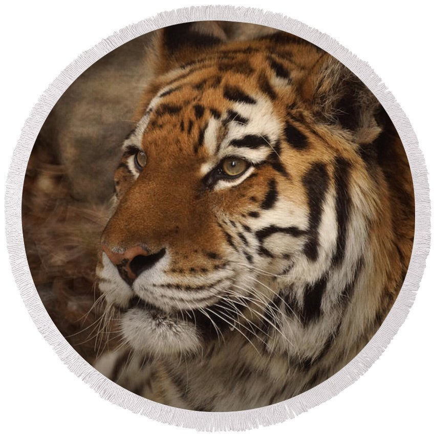 Tiger Round Beach Towel featuring the photograph Amur Tiger 2 by Ernie Echols