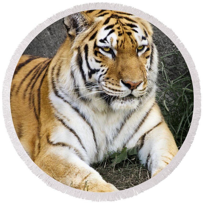 3scape Photos Round Beach Towel featuring the photograph Amur Tiger by Adam Romanowicz
