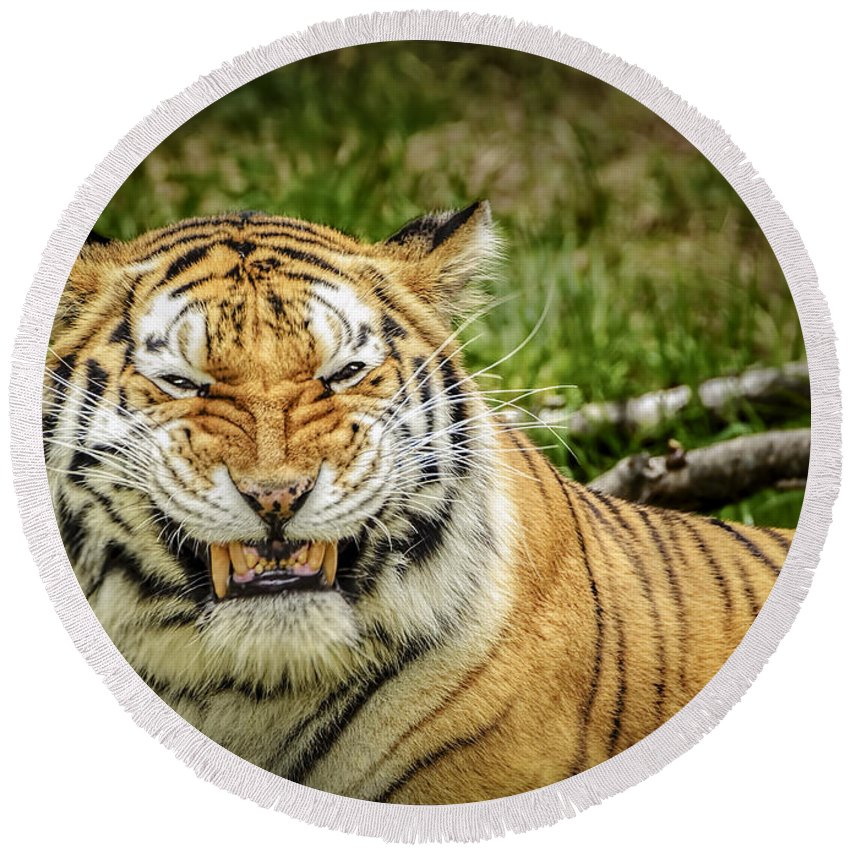 Tiger Round Beach Towel featuring the photograph Amur Tiger Smile by LeeAnn McLaneGoetz McLaneGoetzStudioLLCcom