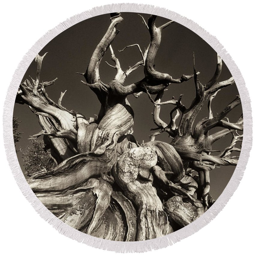 American Round Beach Towel featuring the photograph Ancient Bristlecone Pine In Black And White by Dave Welling