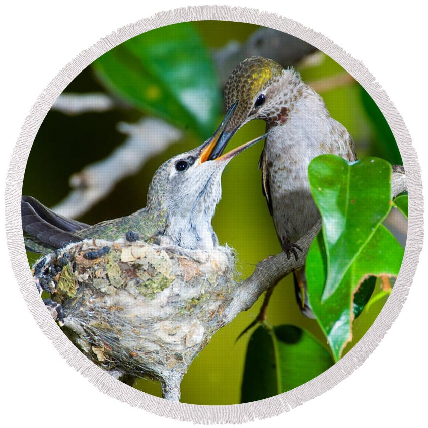 Animal Round Beach Towel featuring the photograph Annas Hummingbirds At Nest by Anthony Mercieca