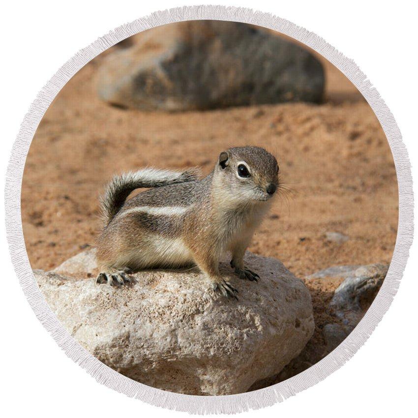Antelope Ground Squirrel Round Beach Towel featuring the photograph Antelope Ground Squirrel by Debby Richards
