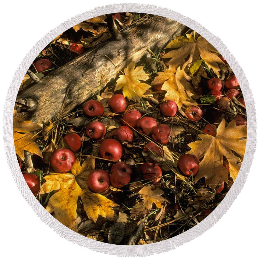 Plant Round Beach Towel featuring the photograph Apples In Fall by Ron Sanford