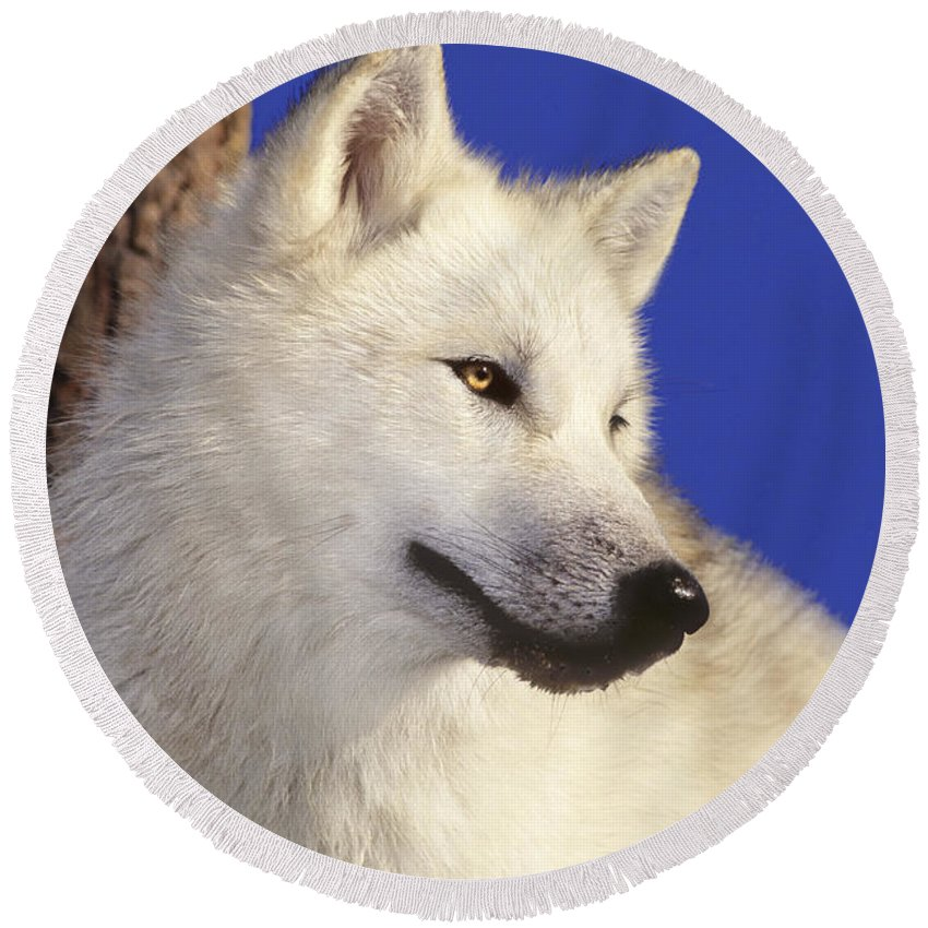 Arctic Wolf Round Beach Towel featuring the photograph Arctic Wolf Portrait Wildlife Rescue by Dave Welling