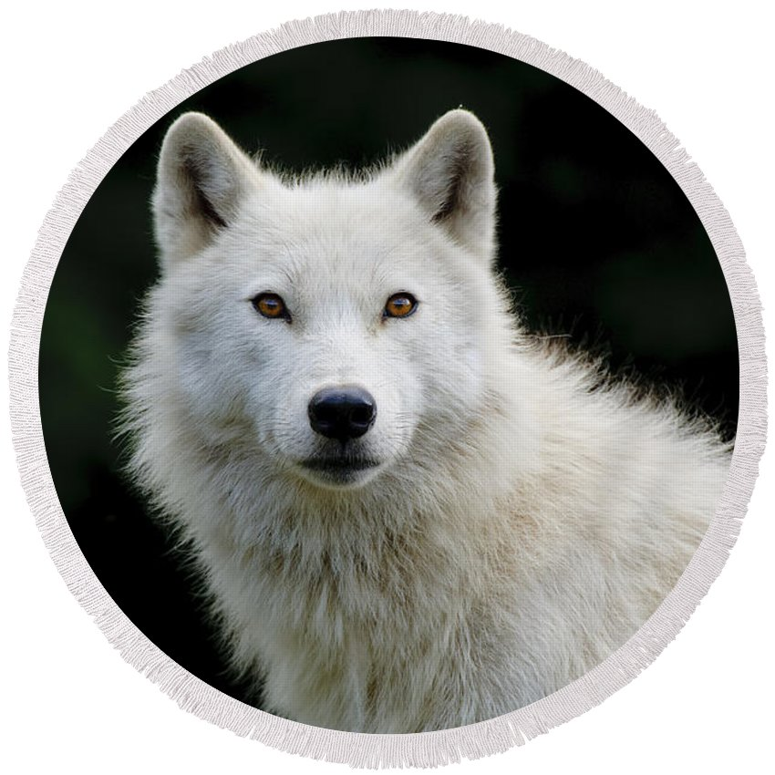 Arctic Wolf Photography Round Beach Towel featuring the photograph Arctic Wolf Portrait by Wolves Only