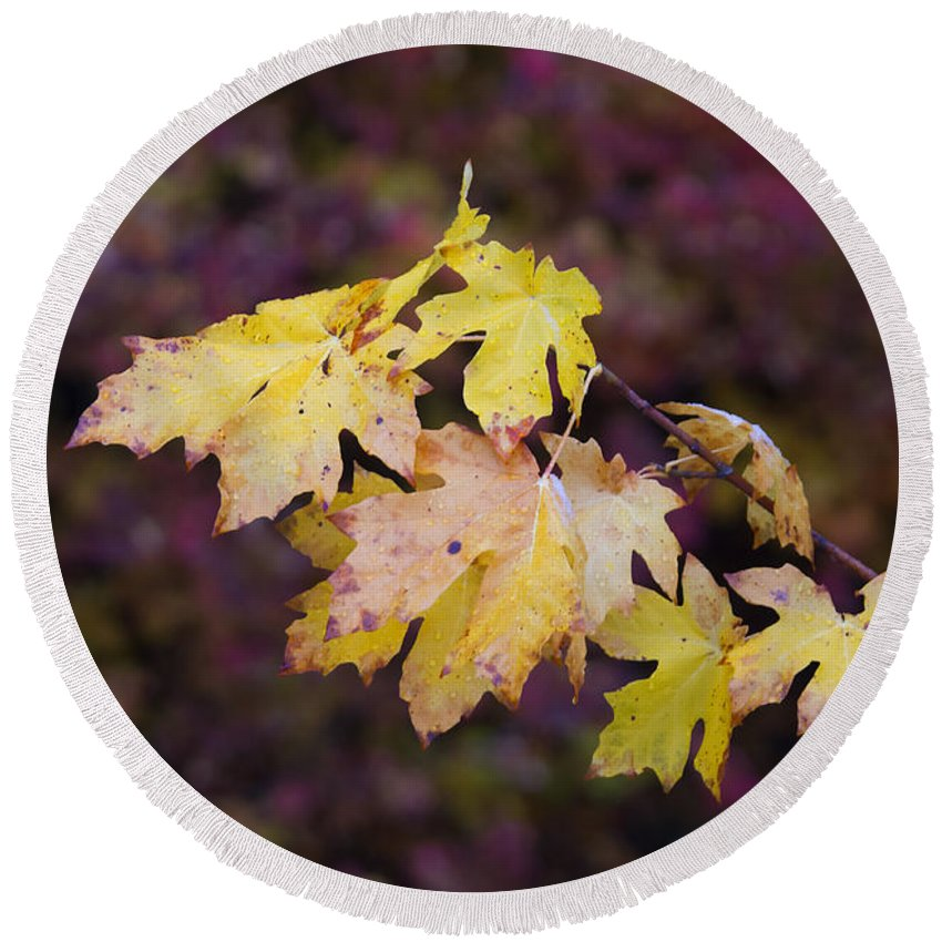 Maple Round Beach Towel featuring the photograph Autumn Contrast by Mike Dawson