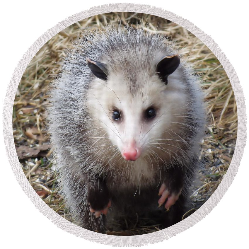 Possum Round Beach Towel featuring the photograph Awesome Possum by MTBobbins Photography