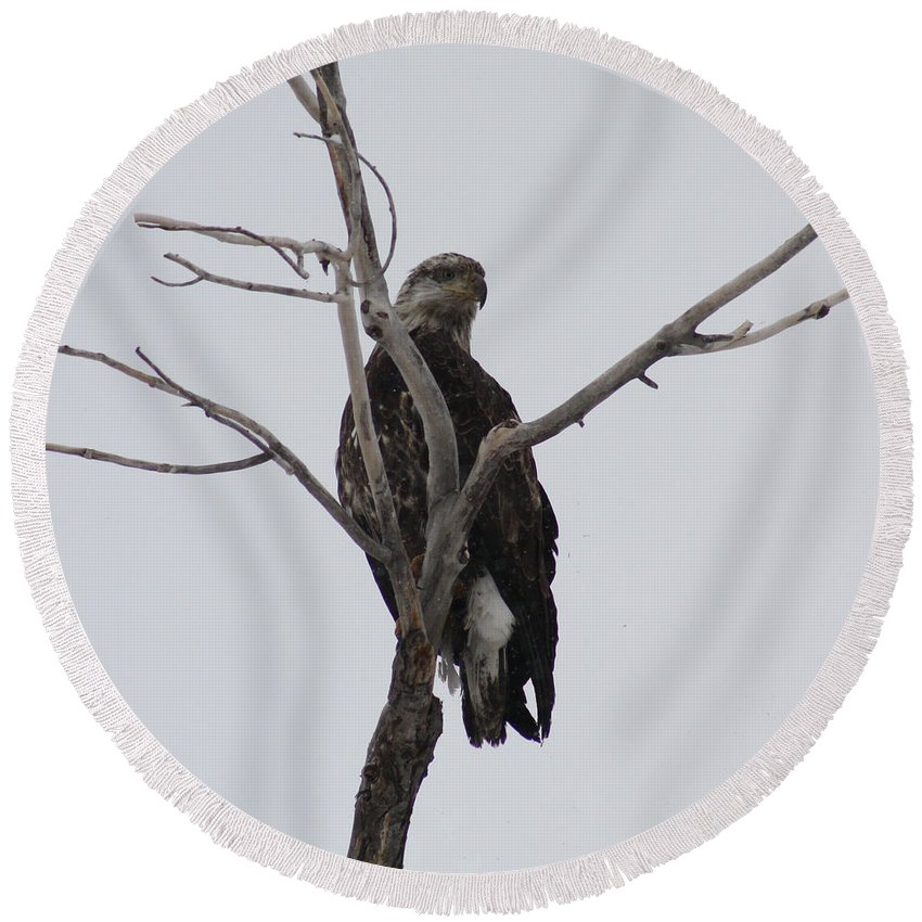 Bald Eagle Round Beach Towel featuring the photograph Baby Bald Eagle by Brandi Maher