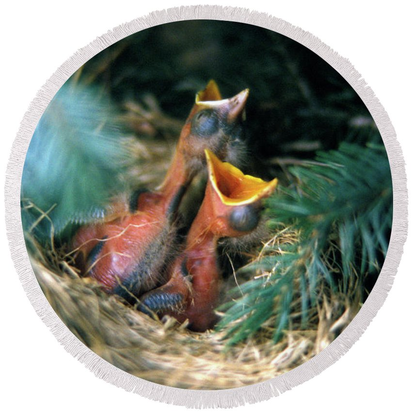 Photography Round Beach Towel featuring the photograph Baby Birds In Nest Waiting To Be Fed by Animal Images