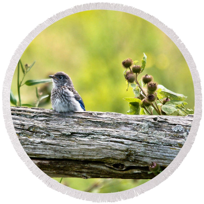Bluebird Round Beach Towel featuring the photograph Baby Bluebird by Cheryl Baxter