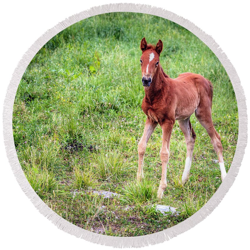Kentucky Round Beach Towel featuring the photograph Baby Colt by Alexey Stiop
