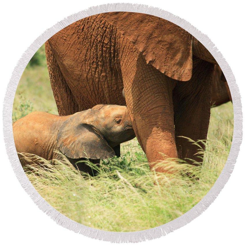 Africa Round Beach Towel featuring the photograph Baby Elephant Feeding by Deborah Benbrook