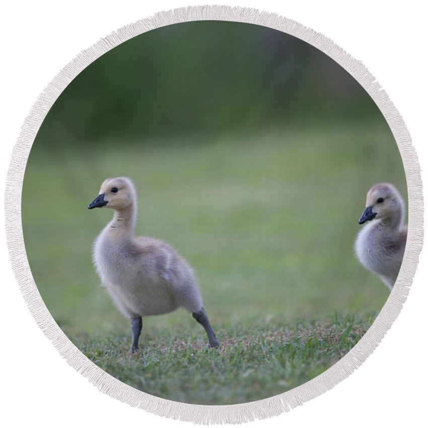 Gosling Round Beach Towel featuring the photograph Baby Goslings by Dale Powell