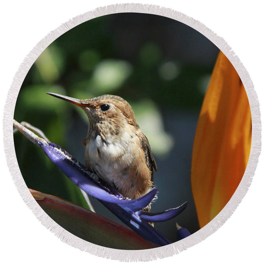 Baby Round Beach Towel featuring the photograph Baby Hummingbird On Flower by Diana Haronis