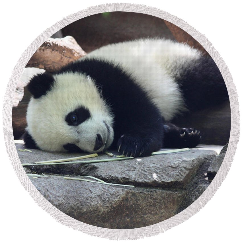 Baby Panda Round Beach Towel featuring the photograph Baby Panda by John Telfer