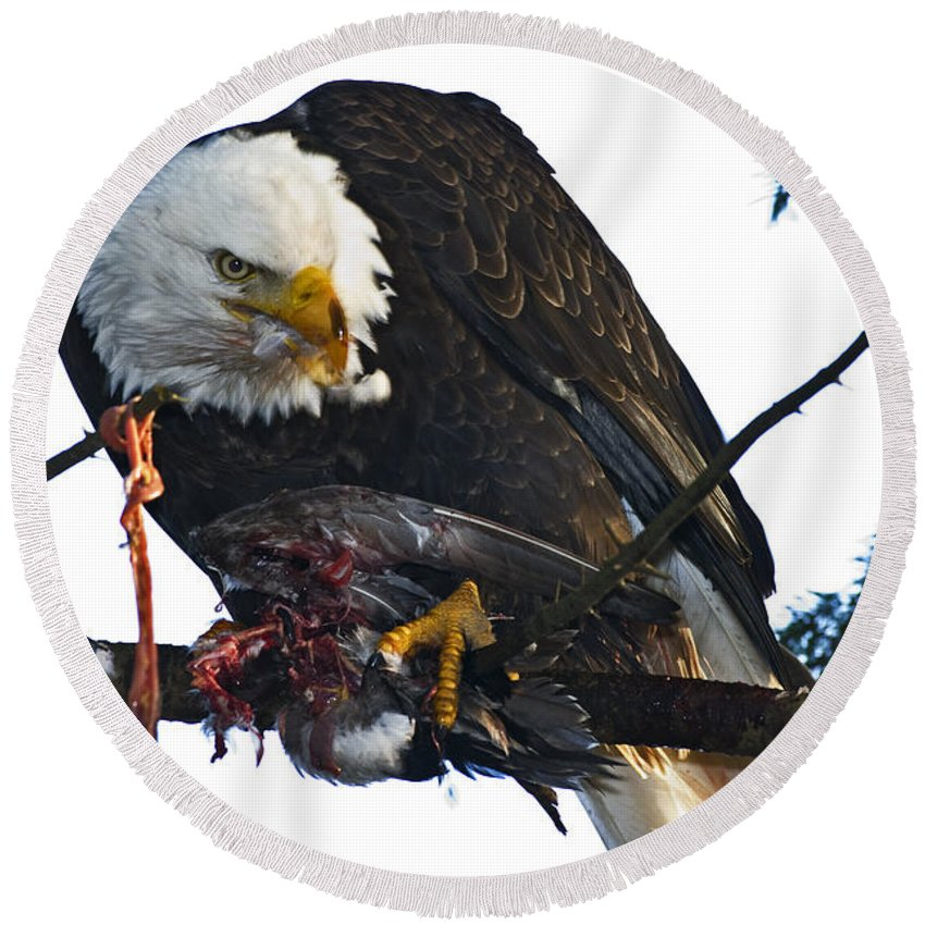 Bald Eagle Round Beach Towel featuring the photograph Bald Eagle Eating It's Prey by Rob Mclean