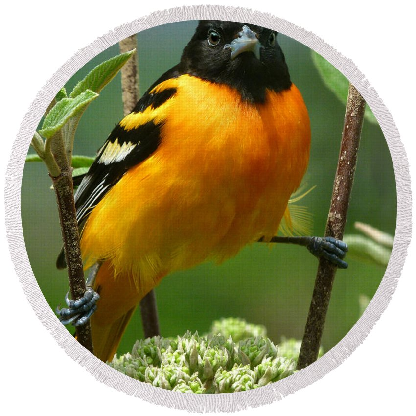 Oriole Round Beach Towel featuring the photograph Baltimore Oriole by Bruce Morrison