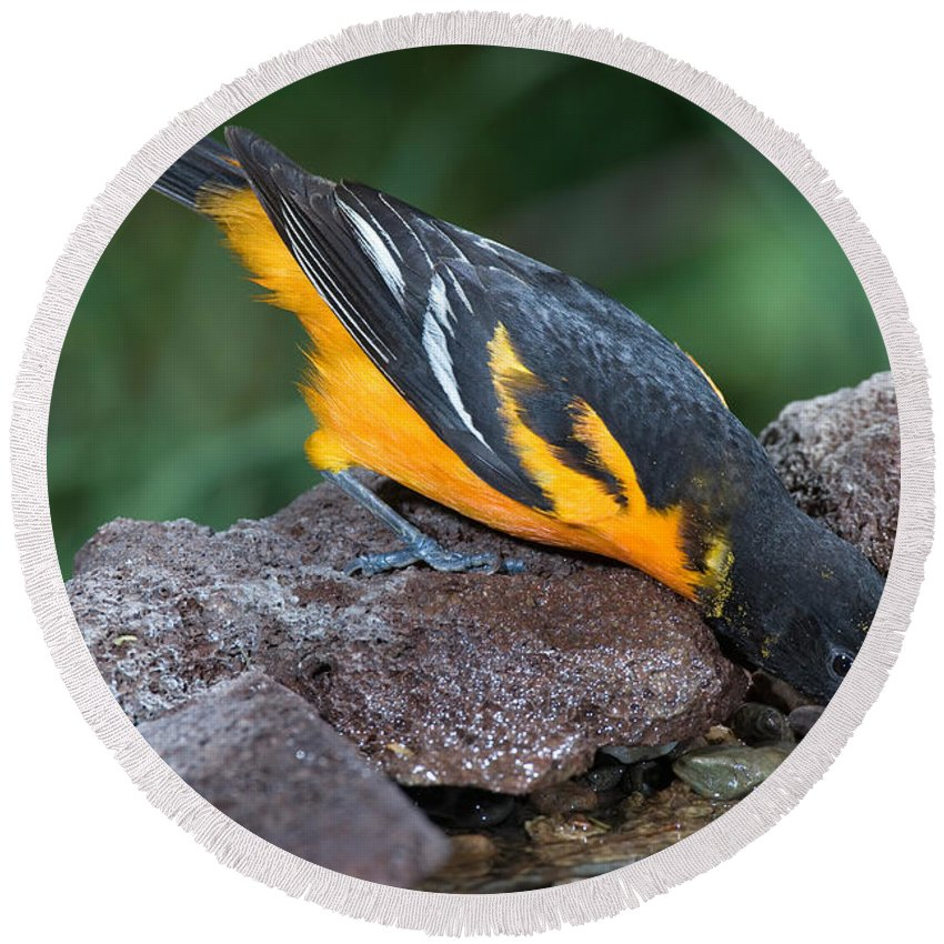 Animal Round Beach Towel featuring the photograph Baltimore Oriole Drinking by Anthony Mercieca