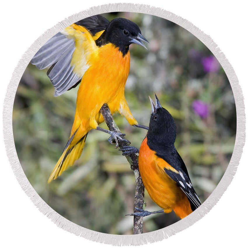 Animal Round Beach Towel featuring the photograph Baltimore Orioles by Anthony Mercieca