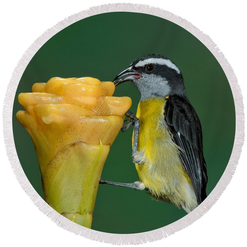 Bananaquit Round Beach Towel featuring the photograph Bananaquit Feeding by Anthony Mercieca