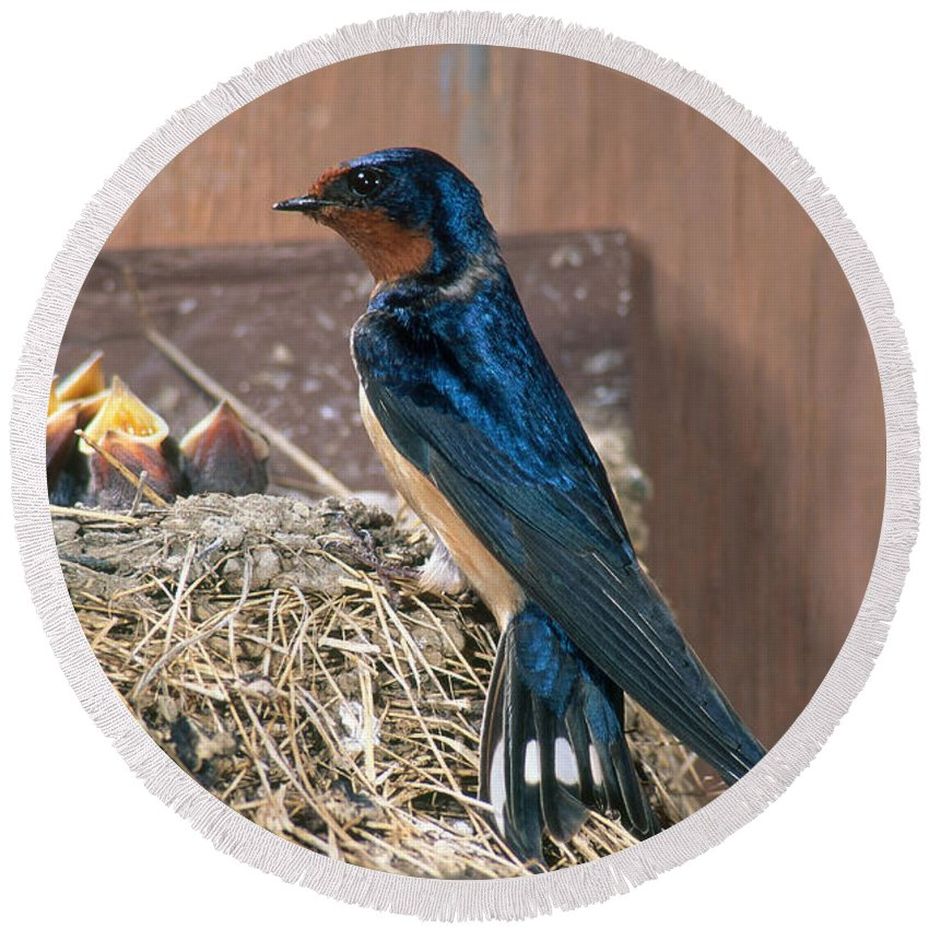 Barn Swallow Round Beach Towel featuring the photograph Barn Swallow At Nest by Anthony Mercieca