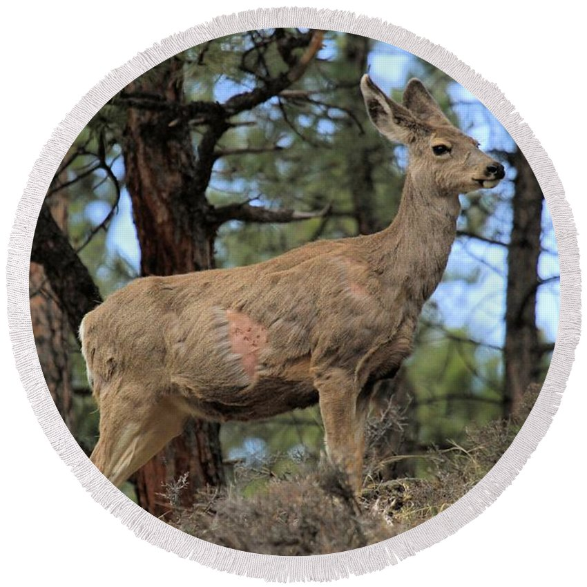 Deer Round Beach Towel featuring the photograph Battle Scarred by Adam Jewell