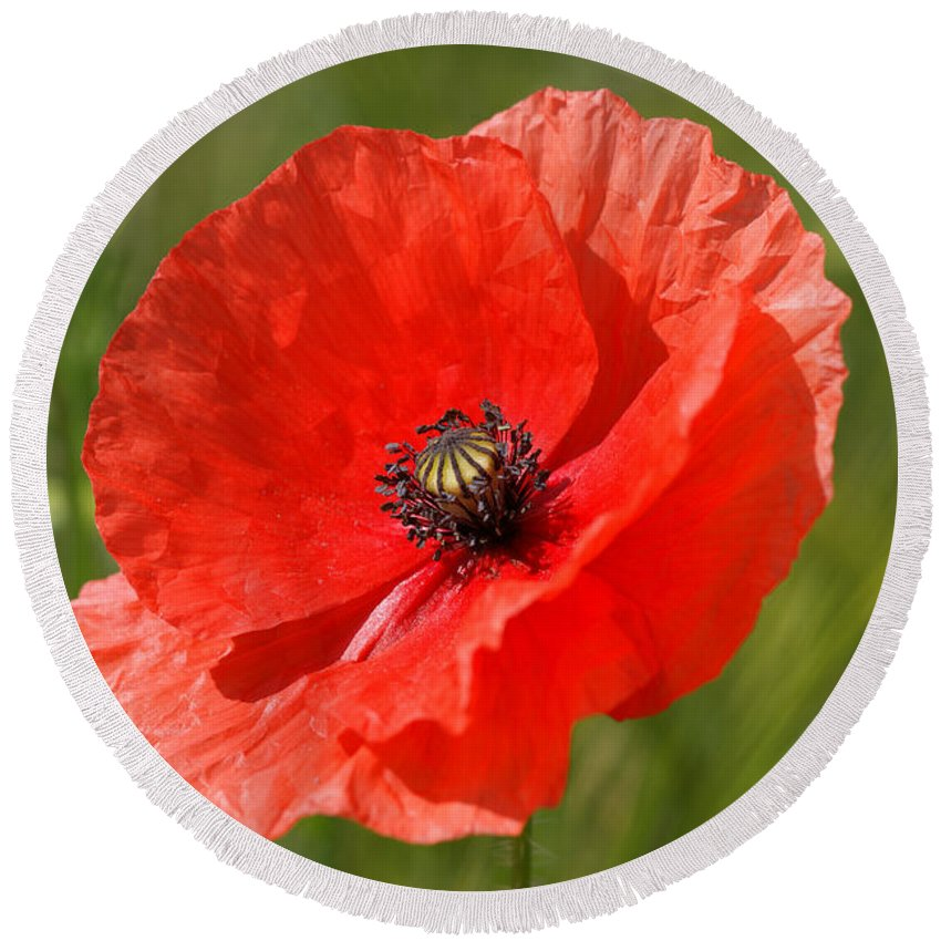 Poppies Round Beach Towel featuring the photograph Beautiful Poppies 7 by Carol Lynch
