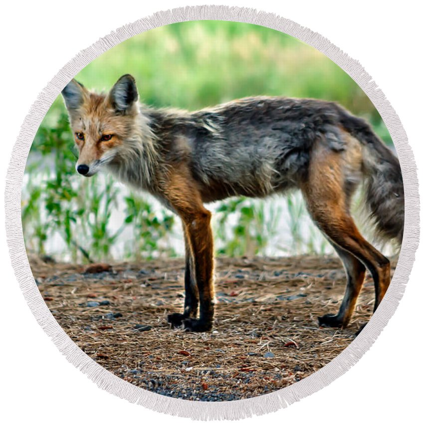 Vulpes Vulpes Round Beach Towel featuring the photograph Beautiful Red Fox by Robert Bales