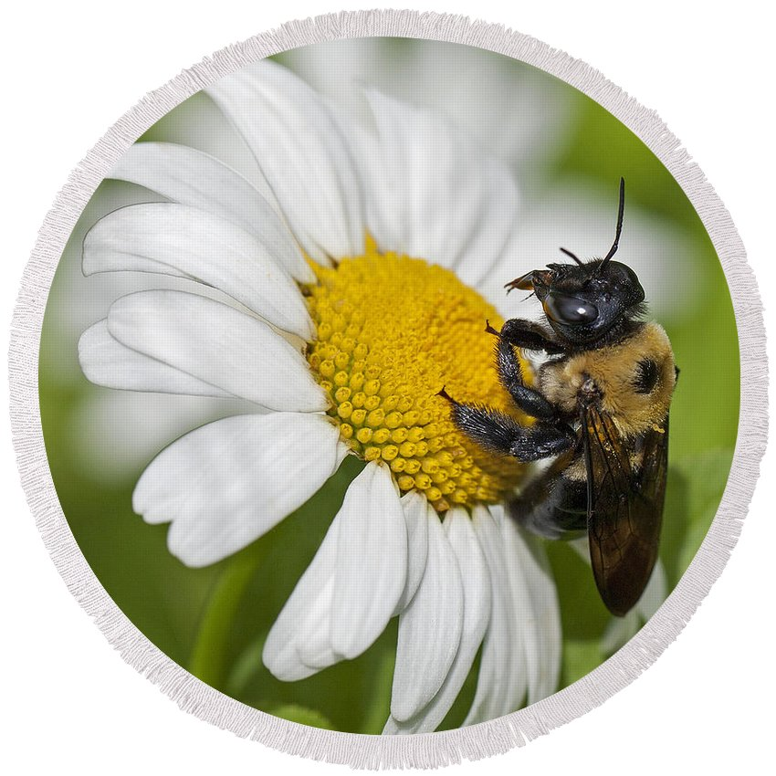 Bee Round Beach Towel featuring the photograph Bee And Daisy by Emma England